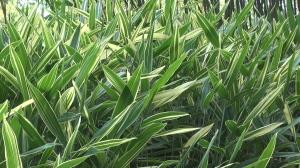 Bamboo begin film